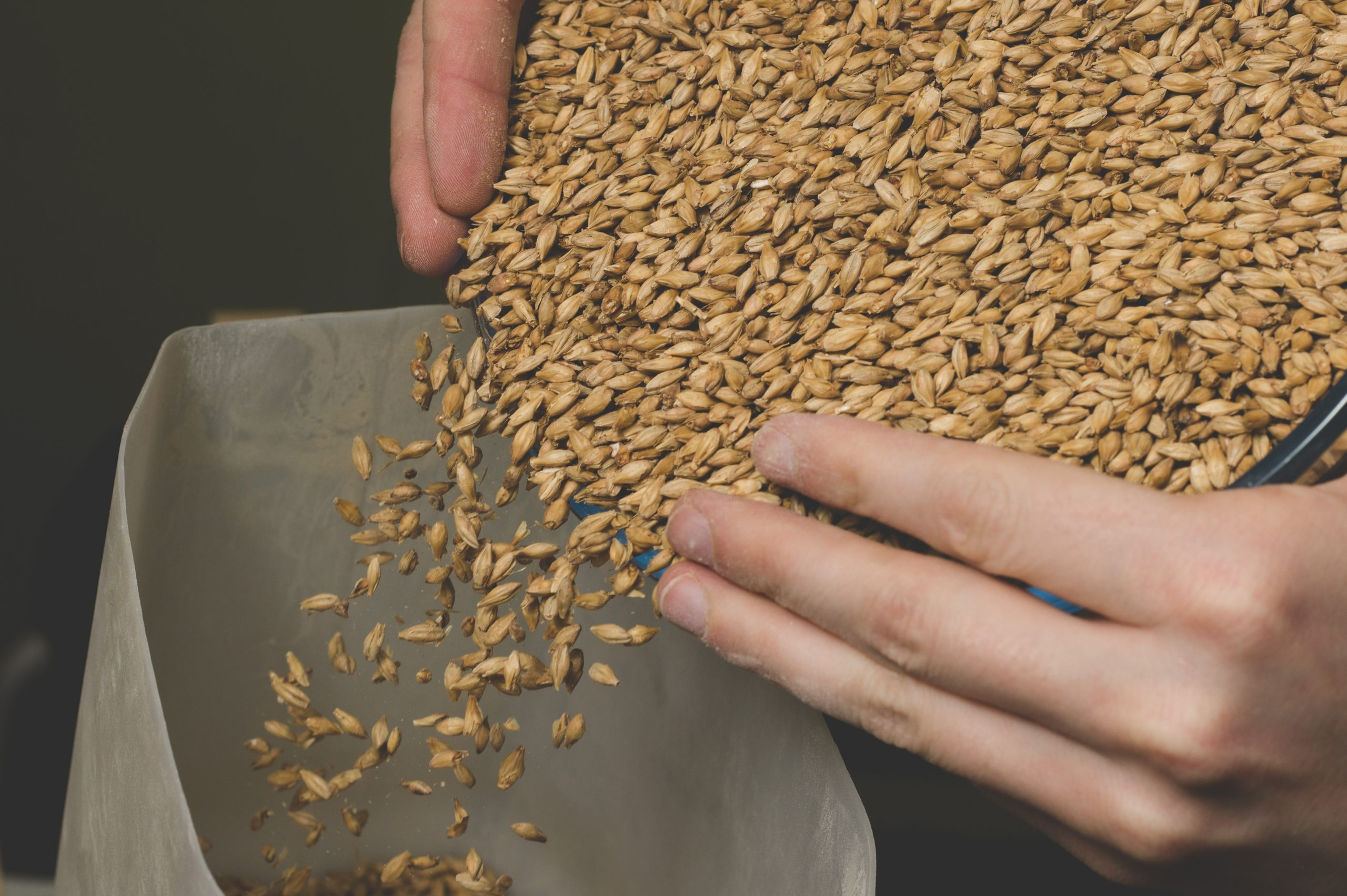 putting barley in a grain mill hopper