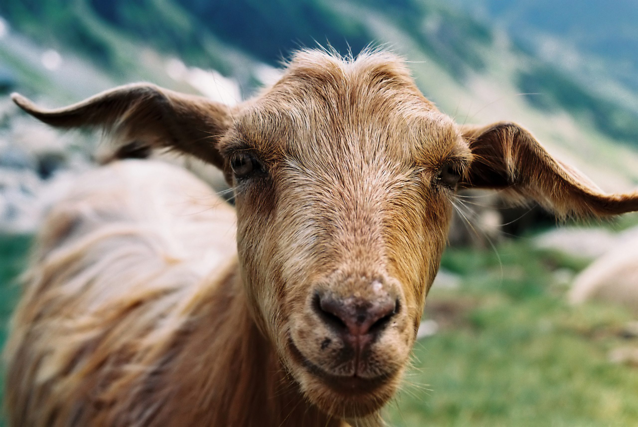 closeup picture of a goat