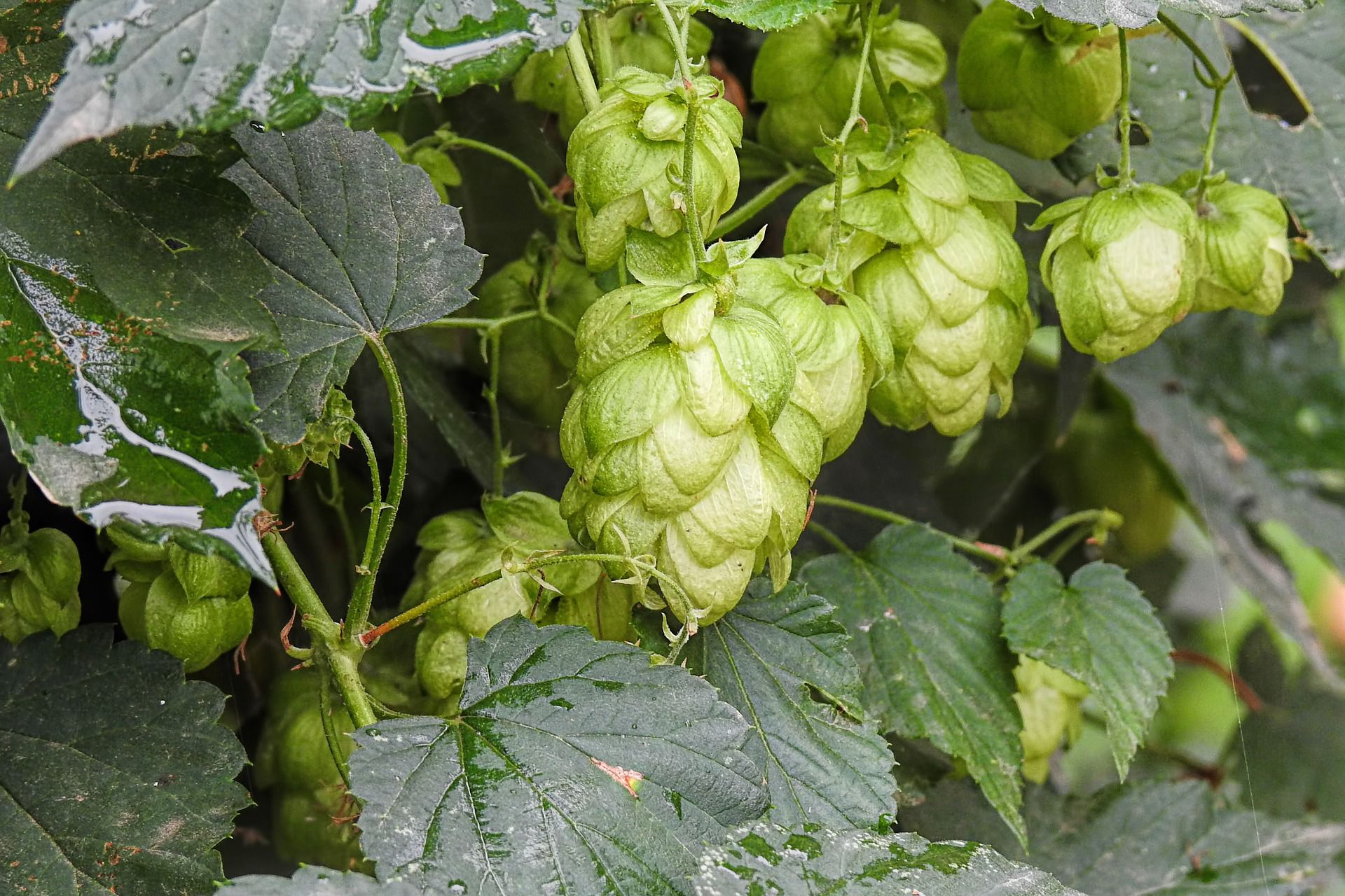 picture of hop plants for home brewing